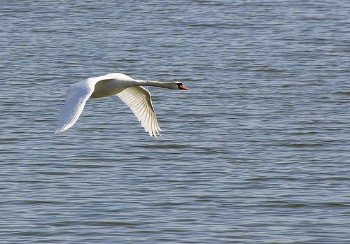 Flying Swan over water
