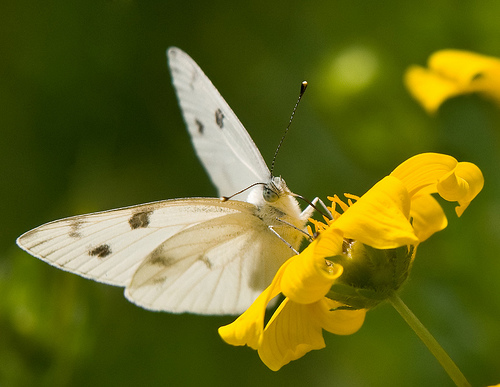 White Buterfly