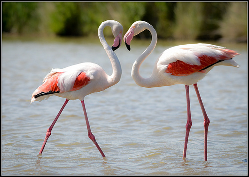 Flamingos' heart