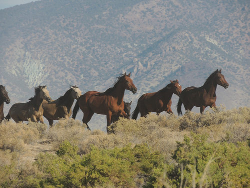 A close up of wild horses being gathered