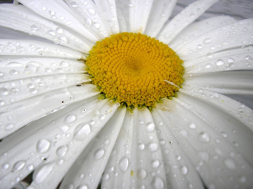 After the Rain on the Daisy a Study in white